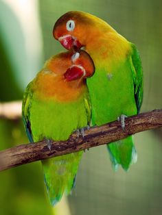 Lovebirds: Beautiful small parrots that are native to Africa and the island of Madagascar. Lovebirds are very active and have high-octane personalities. Everything they do – eating, bathing, playing or interacting – they do with gusto. Fun bird to have in the house in cages or outside in the aviaries.