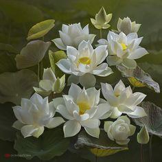 Lotus. Автор: duong quoc dinh