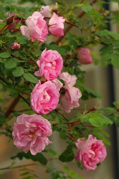 Roses, Garden, Flowers, Plants, Garten, Pink, Rose, Lawn And Garden, Gardens