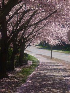 Yoshino Cherry Trees 2012