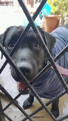 Yellow Lab Puppies, Black Labrador Dog, Aesthetic Photography Nature, Labradoodle, Labrador Retriever, Dogs, Animals, Warm, Holiday