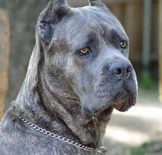 127 Best My Next Dog Cane Corso images | Cane corso, Big ... | 236 x 226 jpeg 12kB