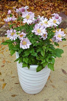 Plant Growers Australia Pty Ltd Container Plants, Container Gardening, Flower Pots, Potted Flowers, Garden Ideas, Charlotte, Australia, Queen, Beautiful