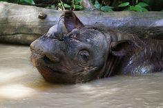 Sumatran Rhino, one of the rarest mammals on earth!