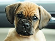 Pug and Beagle = Puggle It just doesn't get any better! Puggle Puppies For Sale, Puppies And Kitties, Pug Beagle Mix, Doggies, Pug Mixed Breeds, Dog Breeds, Happy Animals, Cute Animals, Purebred Dogs