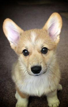 Adorable little corgi pup