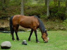 Les fonds d'écran - Un cheval bai au pâturage