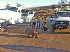 Proflight Zambia | Stretching-her-legs-on-the-tarmac, a baby rhino from Zambia