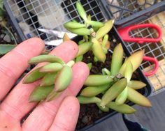 How to propagate succulents through stem cuttings: use a sharp clean blade to make a smooth cut. Put cuttings aside for 3 days to allow the cut end to dry and form a callus. Push the cuttings into well-draining soil and put into bright, indirect light. The soil should be damp like a wrung out sponge but not wet. DO NOT WATER. After 7-10 days , pull up a few cuttings. If they've rooted, give a little water and move to a brighter spot. www.southeastsucculents.com