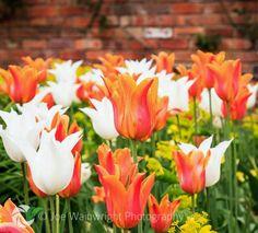 Flute like tulips ts