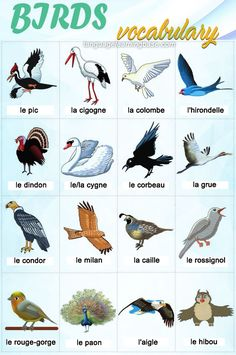 Birds Vocabulary in French - learn French,vocabulary,birds,french,words,expressions