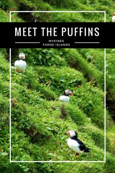 On Mykines, Faroe Island, you can get close to thousands of cute little Puffins during the summer. Watch them fly, catch fish, build their nest and relax on the top of the cliffs