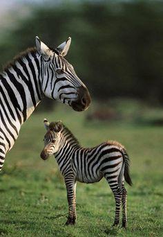 ~~Burchell's zebraand young, Masai Mara, Kenya by Steve Bloom~~  https://www.facebook.com/KerDowneyAfrica