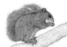 Grey squirrel - Agnese Leone