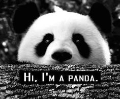 panda love, why hello there! These pandas are so adorable one… Nature Animals, Animals And Pets, Baby Animals, Funny Animals, Cute Animals, Wild Animals, Panda Love, Cute Panda, Hello Panda