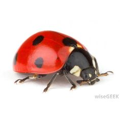What is a Ladybug? ❤ liked on Polyvore featuring animals