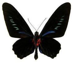 Palawan Birdwing or Triangle Birdwing, male underside. Trogonoptera trojana (Honrath, Photo © by Naturhistorisches Museum Wien; Naturhistorisches Museum Wien, Butterfly Species, Palawan, Butterflies, Triangle, Insects, Butterfly
