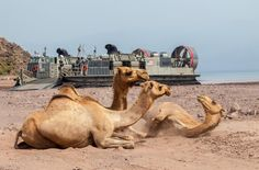 Camels rest in the sun as landing craft,air cushion vessel assigned to USS Kearsarge(LHD 3),transports light armored vehicles & Humvees of 26th Marine Expeditionary Unit,to Arta Beach,Djibouti,Africa,May 27,2013.26th MEU a Marine Air-Ground Task Force deployed to US 5th Fleet area of aboard Kearsarge Amphibious Ready Group serving as sea-based, expeditionary crisis response force.(USMC Sgt.Christopher Q. Stone,26th MEU Combat Camera)