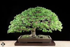 Árvore da chuva brasileira (Albizia saman)
