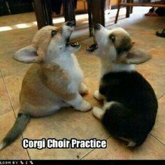 Corgi Choir Practice