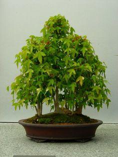 RK:Chicago Botanic Garden Collection Bonsai Forest, Bonsai Art, Bonsai Garden, Bonsai Trees, Garden Plants, Chicago Botanic Garden, Japanese Gardens, Flowering Shrubs, Small Trees