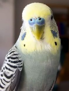 A Grey yellow Face Type 1 cock budgie, Yellow Faced Greys can be simply stunning.