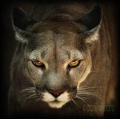 puma concolor / cougar by danihernanz, via Flickr