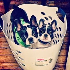 What's crazier than a barrel of monkeys? A basket of puppies!!