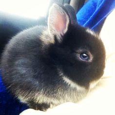 Netherland dwarf bunny - are the blue eyes photoshopped? Usually netherland dwarves have brown