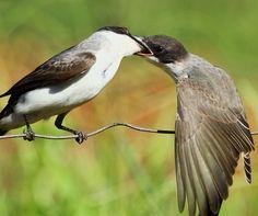 Foto tesourinha (Tyrannus savana) por Valdemiro Schauren | Wiki Aves - A Enciclopédia das Aves do Brasil