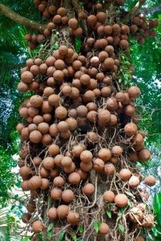 Cannonball fruit tree or couroupita guianensis is an evergreen tree native to tropical South America