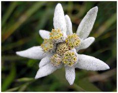 A swiss flower #flower #flowers #switzerland