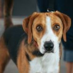 Dog adoption: Rescue a pet friend in need. Find dogs, cats, kittens and puppies looking for a happy home. Dog Lover Gifts, Dog Lovers, Dog Finder, American Foxhound, Treeing Walker Coonhound, The Fox And The Hound, Kittens And Puppies, Ranger, Pets