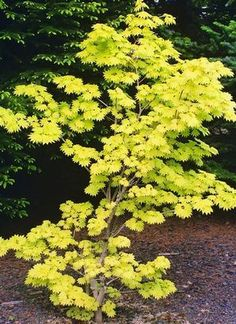 AM sun/PM shade for best results Golden full moon maple. AM sun/PM shade for best results Garden Shrubs, Landscaping Plants, Shade Garden, Deciduous Trees, Trees And Shrubs, Trees To Plant, Arrangements Ikebana, Baumgarten, Maple Tree