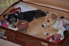 xx Collie, Dogs, Animals, Animales, Animaux, Pet Dogs, Doggies, Animal, Animais