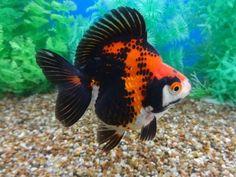 Ryukin Goldfish, Comet Goldfish, Goldfish Tank, Colorful Fish, Tropical Fish, Goldfish Party, Fish Aquarium Decorations, Fish Tank Design, Golden Fish