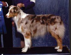 Rock River Valley Australian Shepherd Club