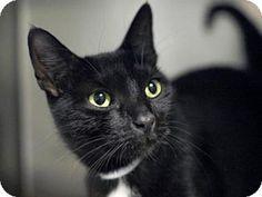Brooklyn, NY - Domestic Shorthair. Meet BABS, a cat for adoption. http://www.adoptapet.com/pet/13580270-brooklyn-new-york-cat