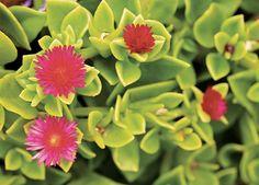 Rosinha-de-sol. Planta que cresce de 10 a 15 cm de altura. Floresce durante o ano todo. Cria um colchão denso no solo, impedindo  o crescimento de ervas daninhas. Exige sol pleno e irrigação em intervalos longos. Miniaturas infalíveis