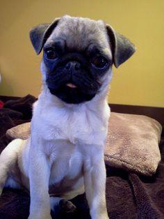 Percy. My pug