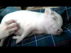 Piggy Belly Rub - OMG- watch the little pig's face!!