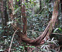 Amazon rainforest - liana vine