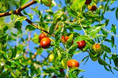 Il giuggiolo questo sconosciuto – La pianta, il frutto, la storia, gli usi, il noto detto e la… ricetta | IL MONDO DI ORSOSOGNANTE