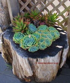Succulents planted in old log with hole in it.