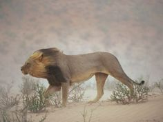 A lion walks against a gritty wind in the Nossob Riverbed, Kalahari Gemsbok National Park, South Africa.