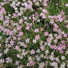Gypsophila repens 'Rosea' (Creeping Baby's Breath) wish list