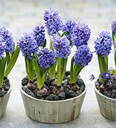 Forcing bulbs for indoor enjoyment