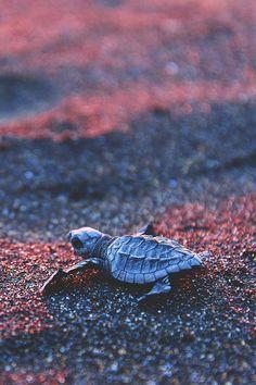 Baby leatherback sea turtle - Monterrico