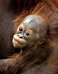 A baby orangutan being held in its mother's arms.