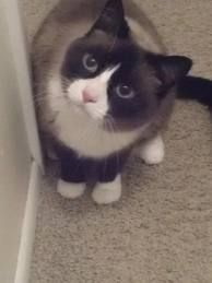 snowshoe cat - Google Search